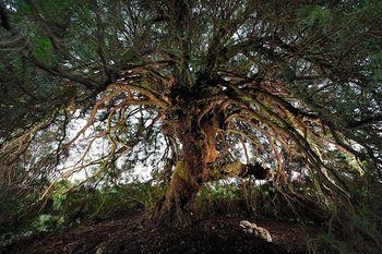 Un-pistachier-corse-remporte-le-prix-de-l-arbre-de-l-annee_article_main_large