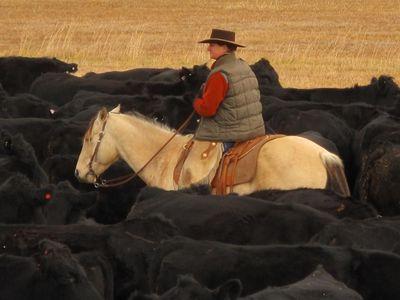 Instant magique capt- par Damayanti- un cow-boy du Montana parmi son troupeau de vaches angus