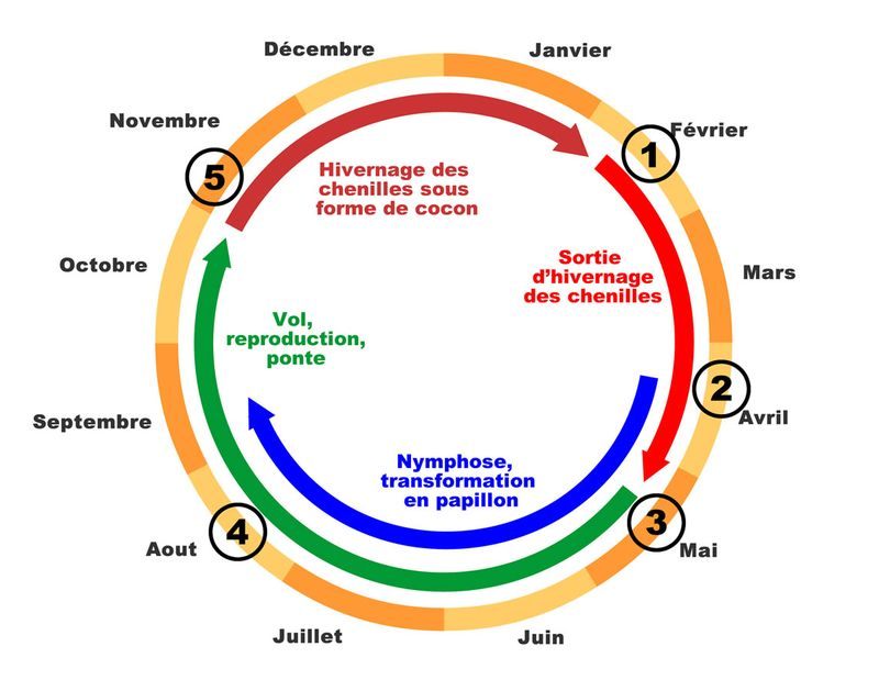 Cycle-biologique-calendrier