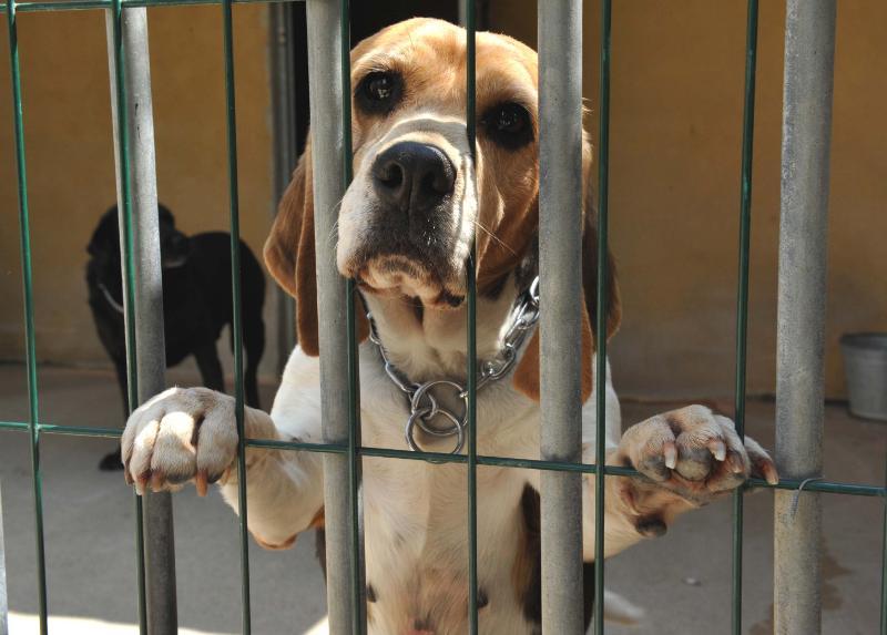 Caro beagle