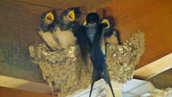 Hirondelle-nid